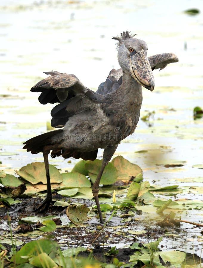 非洲shoebill通配的乌干达 图库摄影