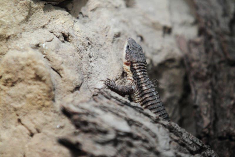 非洲人东部多刺被盯梢的蜥蜴 免版税库存图片
