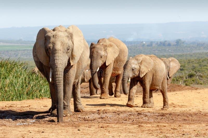 非洲人布什会集在水坑的大象家庭 免版税库存图片