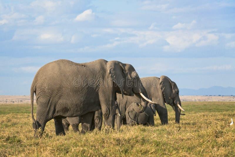 非洲人布什大象牧群 库存照片