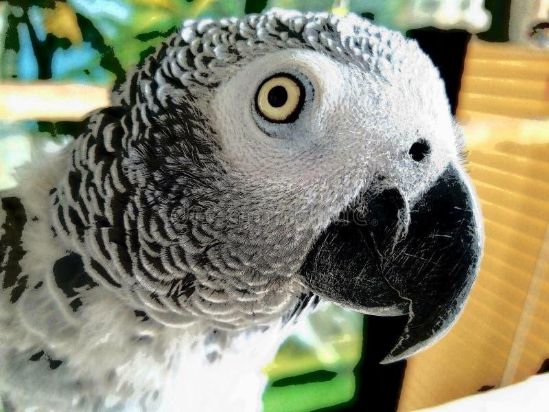 非洲人般的灰色鹦鹉-女性野生生物生物 免版税图库摄影