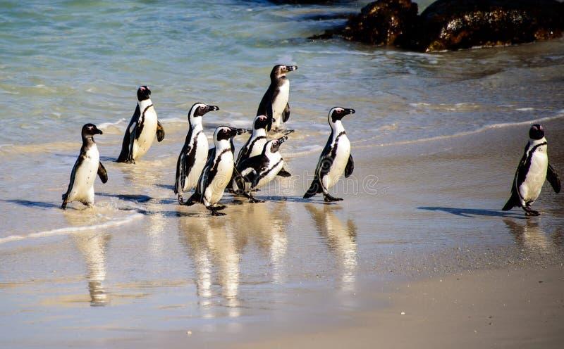非洲企鹅到达岸线 库存照片