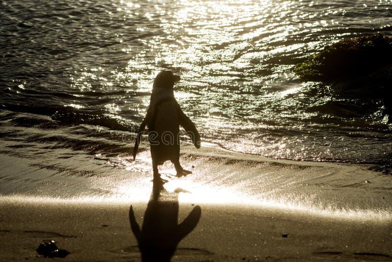 非洲企鹅剪影在海滩的 免版税库存照片