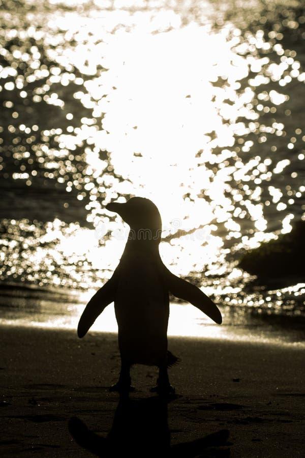 非洲企鹅剪影在海滩的 库存图片