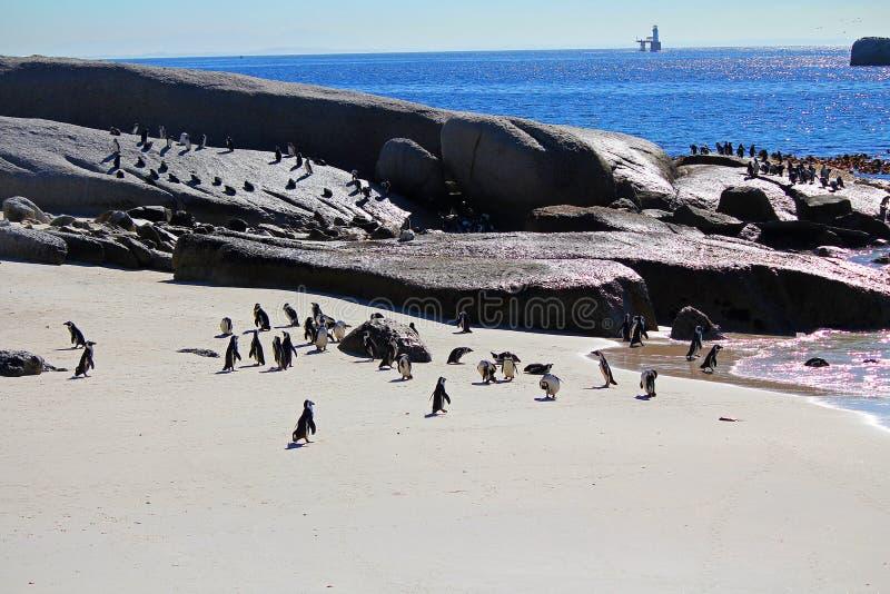 非洲企鹅殖民地 库存图片