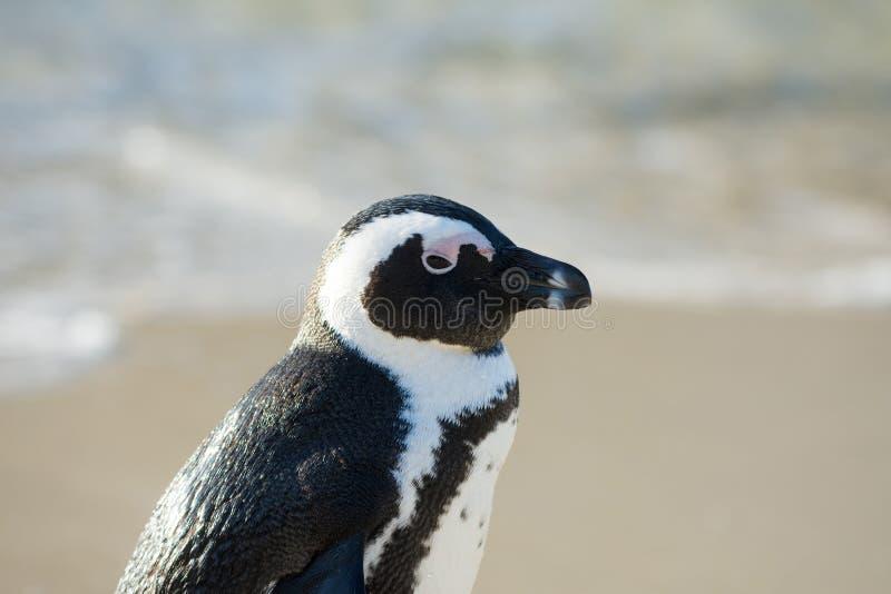 非洲企鹅纵向 库存照片