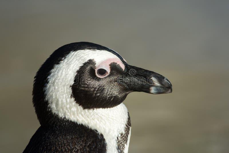 非洲企鹅纵向 免版税库存图片