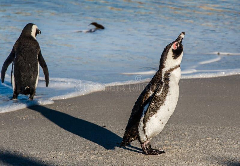 非洲企鹅画象在沙滩在阳光下摆脱 库存照片
