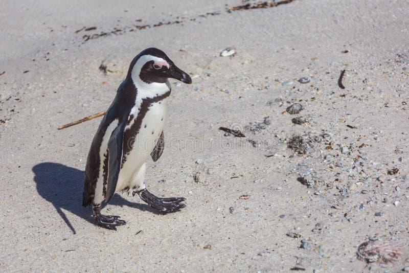 非洲企鹅 库存图片