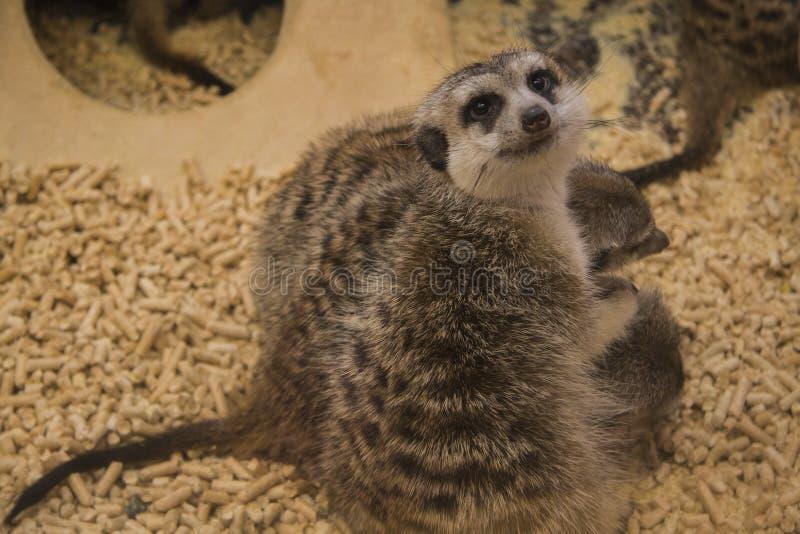 非洲系列kalahari meerkat南suricate 库存照片