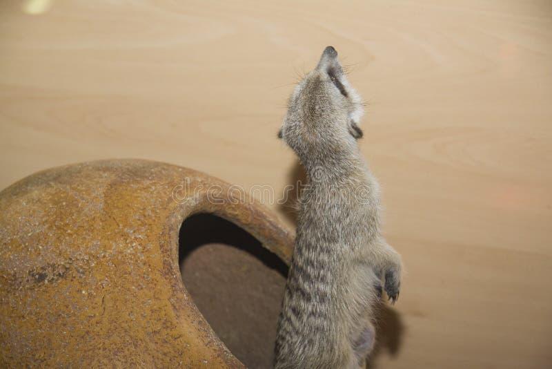 非洲系列kalahari meerkat南suricate 免版税库存照片