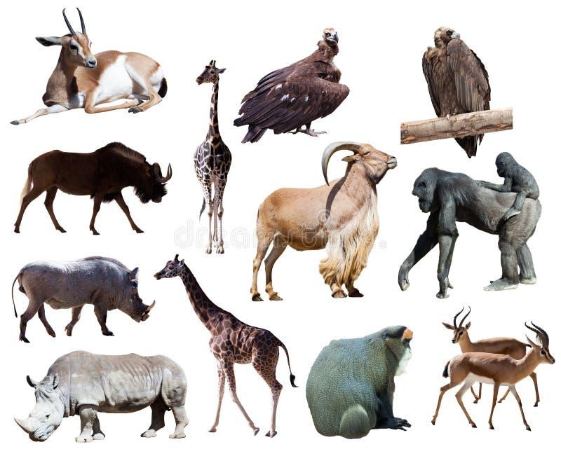 非洲动物。隔绝在白色 图库摄影