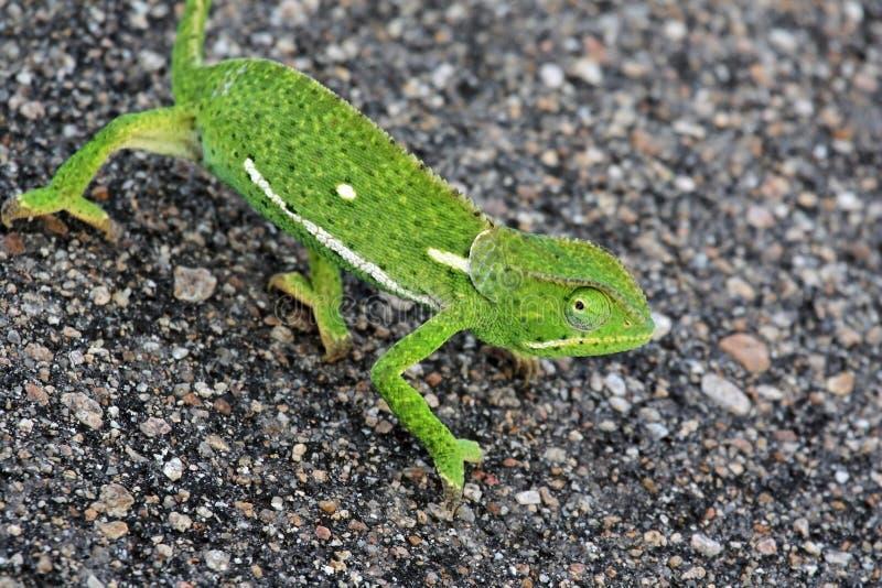 非洲变色蜥蜴在柏油路,克鲁格国家公园去, 免版税图库摄影