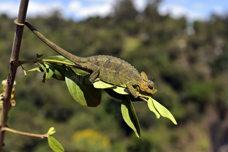 非洲变色蜥蜴 库存图片