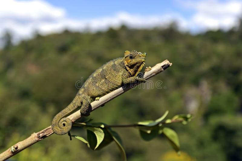 非洲变色蜥蜴 免版税库存照片