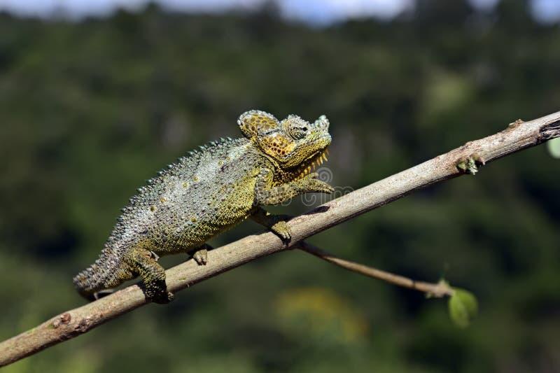 非洲变色蜥蜴 库存照片