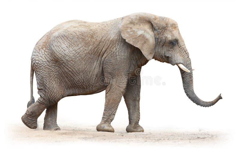 非洲大象。 免版税图库摄影