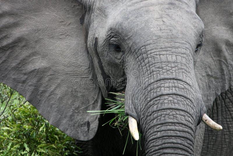 download 非洲大象吃草 库存图片.图片