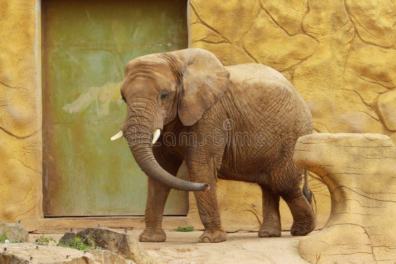 非洲大象在动物园里在Dvur Kralove 免版税库存照片