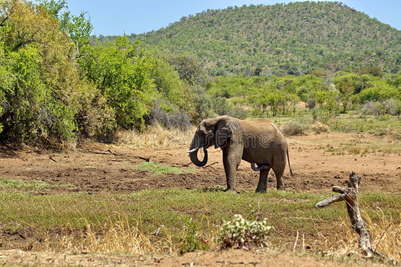 非洲大象在Pilanesberg国家公园 免版税图库摄影