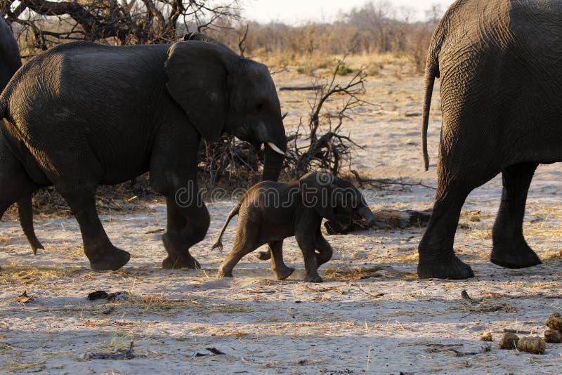 非洲大象家庭赛跑 免版税库存照片