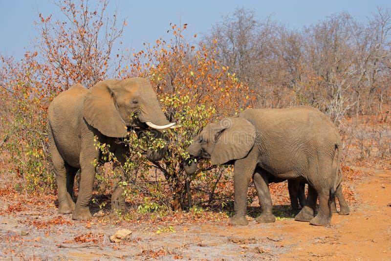 非洲大象提供 库存图片