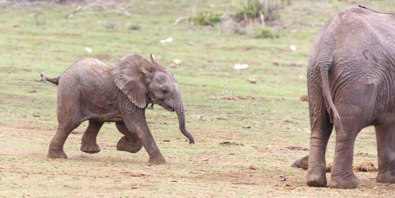 年轻非洲大象赛跑 库存图片