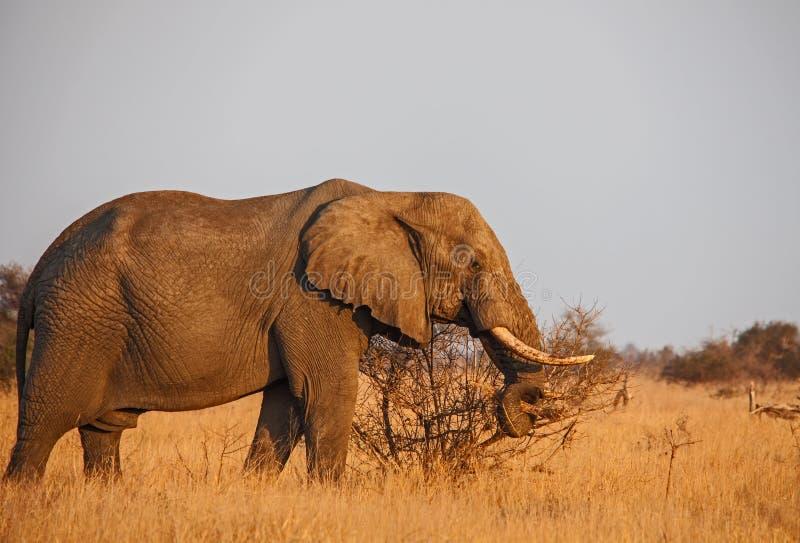 非洲大象非洲象属africana 免版税库存照片
