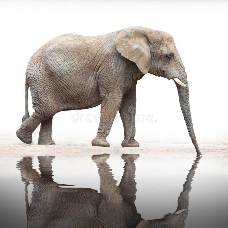 非洲大象(非洲象属africana)。 库存照片