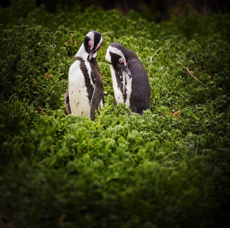 非洲夫妇企鹅 免版税库存图片