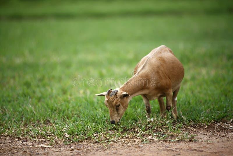 非洲山羊的画象 库存图片