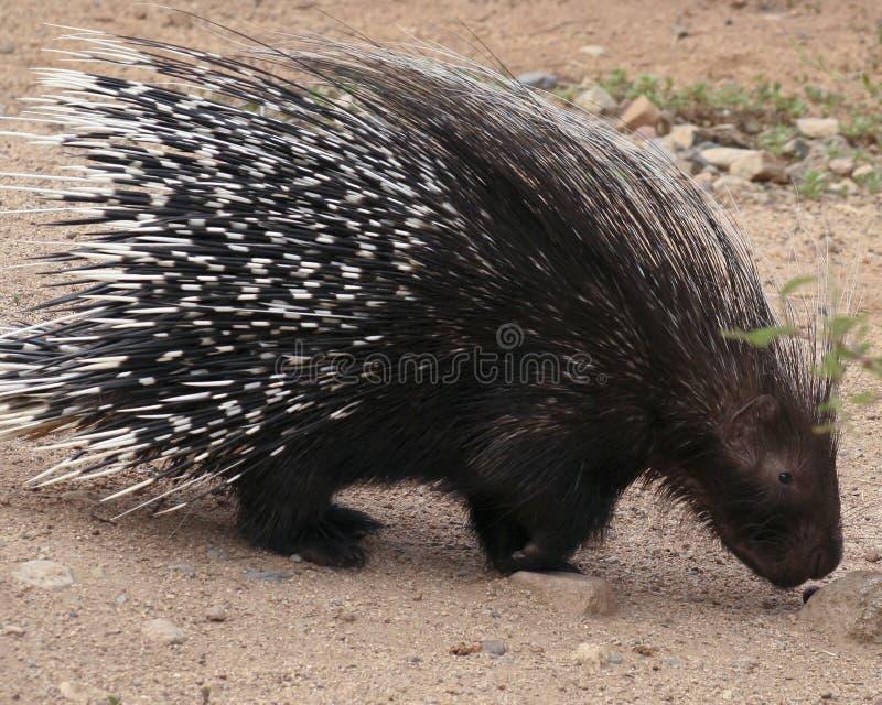 非洲有顶饰豪猪, Hystrix cristata 免版税库存图片