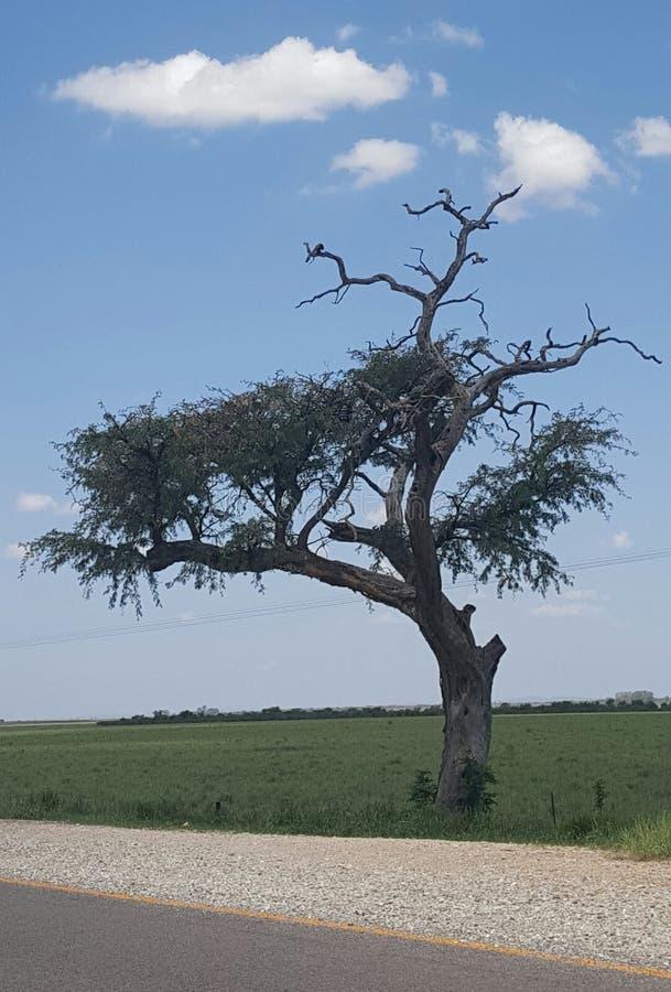非洲结构树 图库摄影