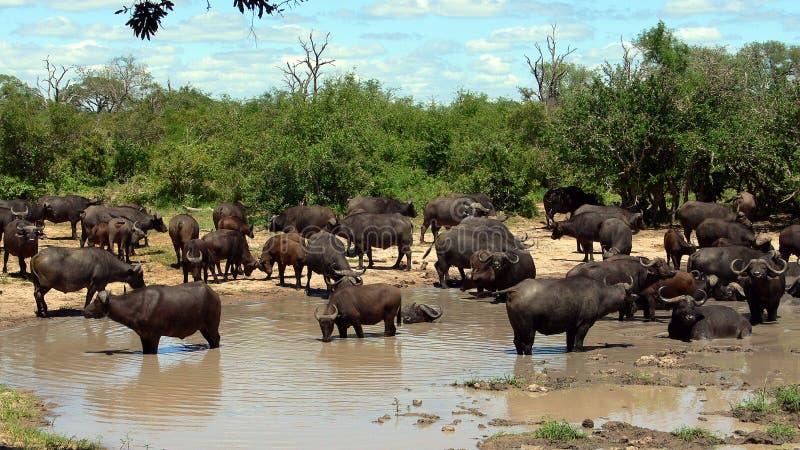 非洲水牛或Cape Buffalo (Syncerus caffer) 免版税库存照片