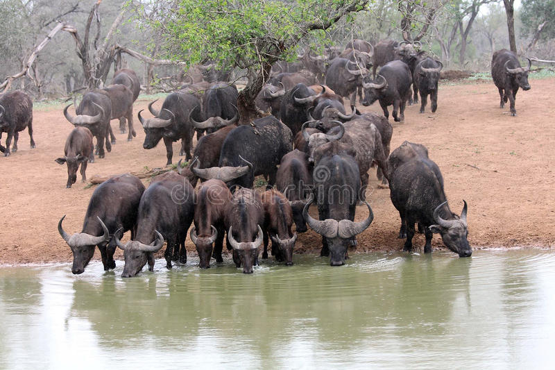 非洲水牛牧群在waterhole的 库存图片