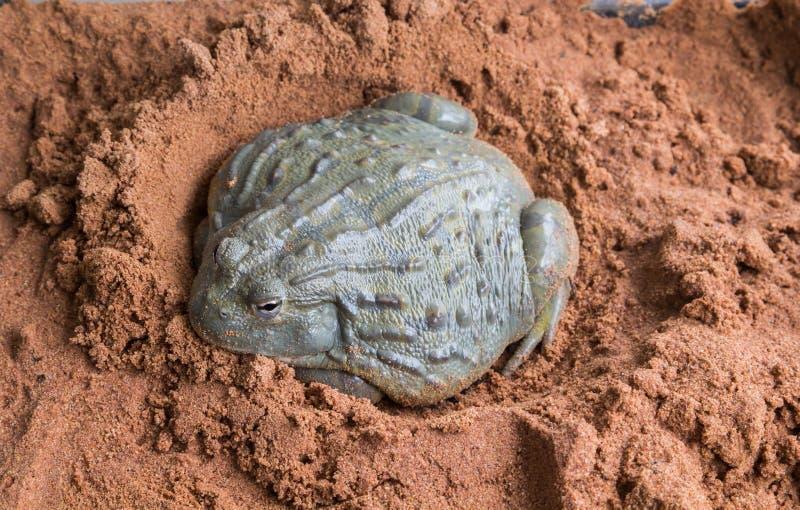 非洲牛蛙 免版税图库摄影