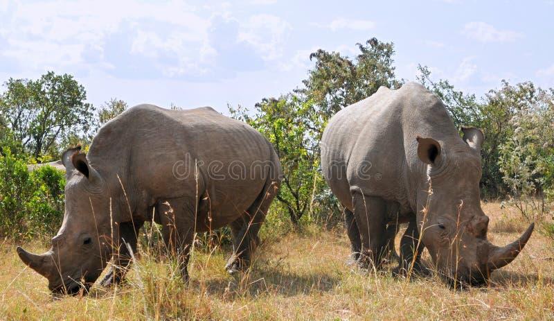 非洲黑犀 库存图片