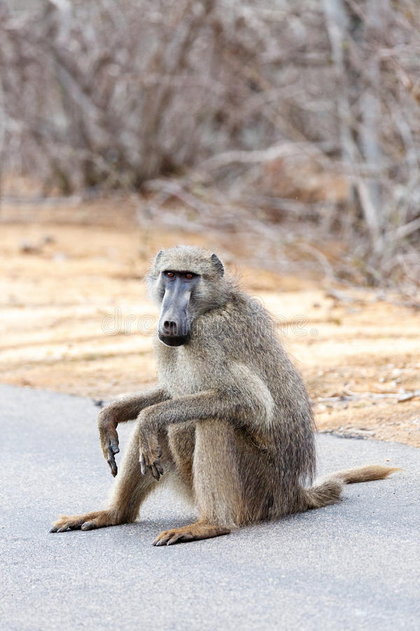 非洲狒狒坐路 图库摄影