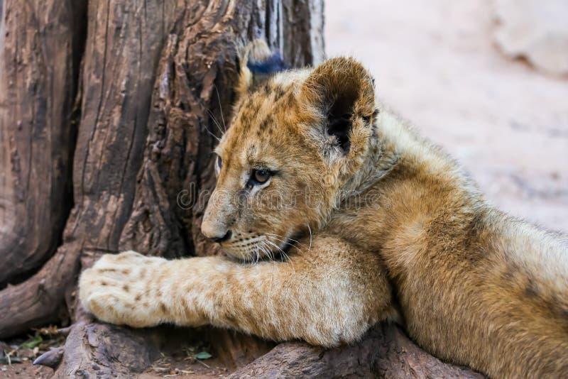 非洲狮子杯 免版税库存照片