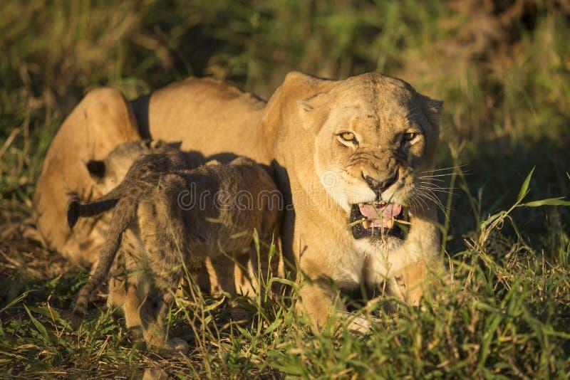 非洲狮子母亲和哺养Cub (豹属利奥)南非 库存照片