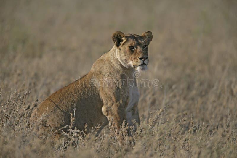 非洲狮子,豹属利奥 免版税图库摄影
