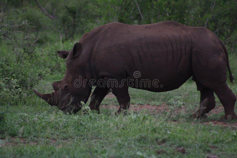 非洲白色犀牛公牛 库存图片