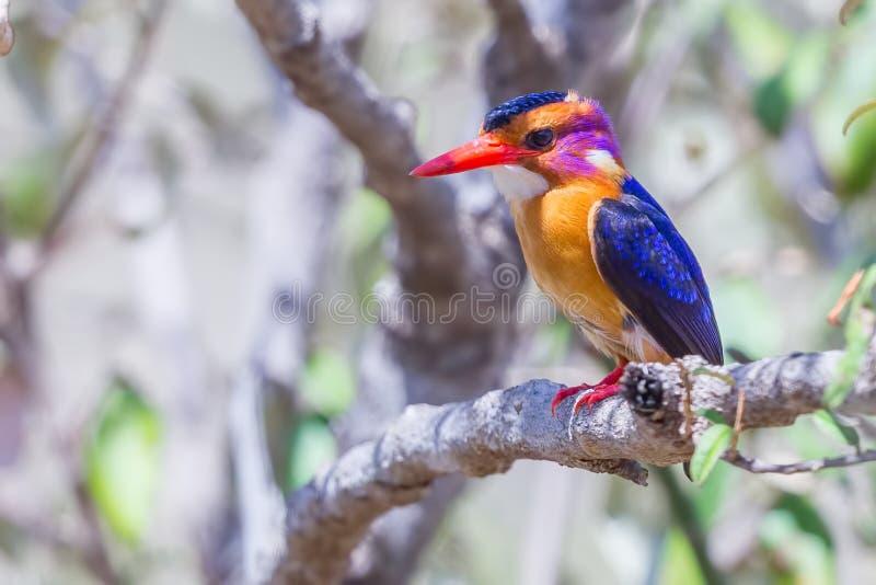 非洲矮小翠鸟- Ceyx pictus 图库摄影