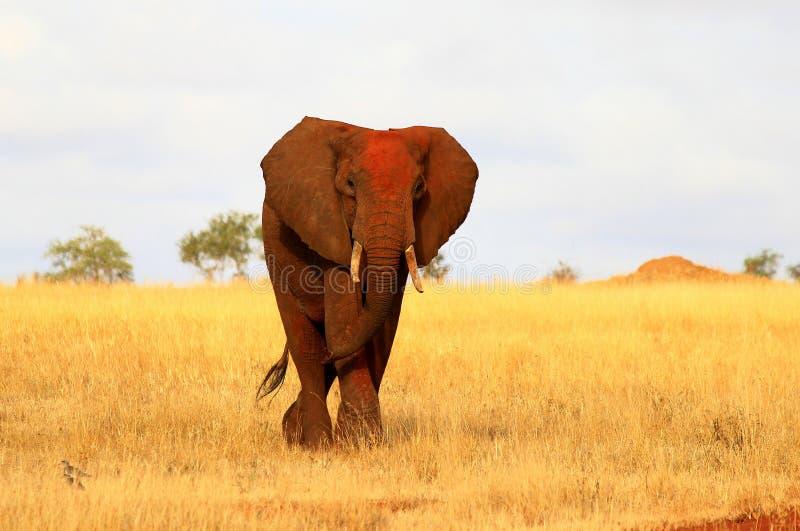 非洲红色大象 图库摄影