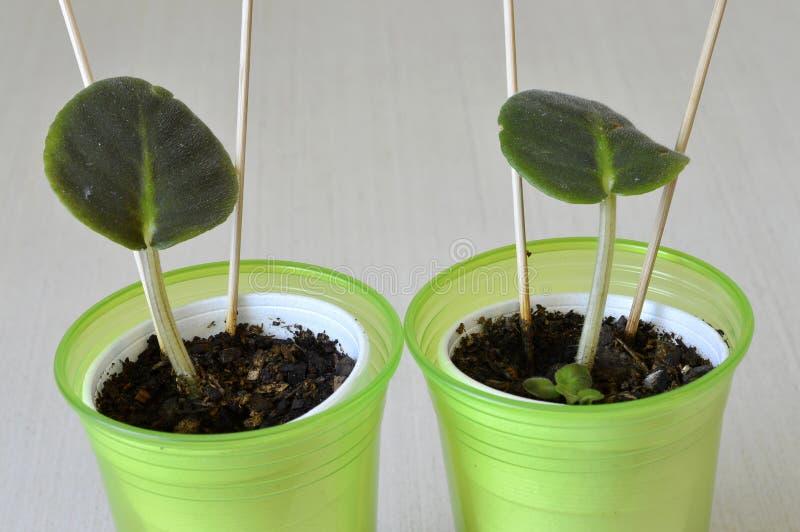 非洲紫罗兰幼木 库存图片
