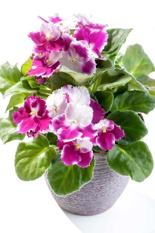 非洲紫罗兰开花罐的家庭植物在白色背景 免版税库存图片