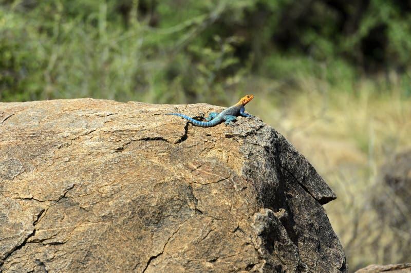 非洲蜥蜴彩虹 免版税库存照片