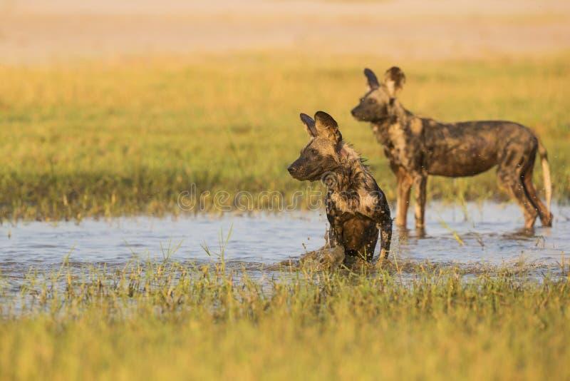 非洲豺狗在水中 免版税图库摄影