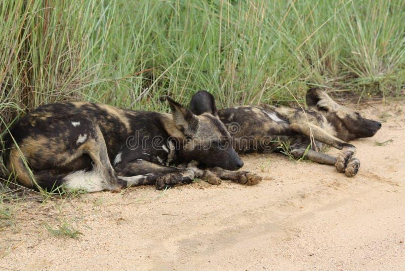 非洲豺狗对放下 免版税库存照片