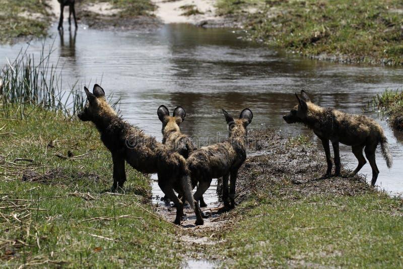 非洲豺狗组装 免版税库存照片